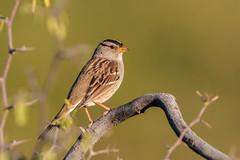 White-crowned Sparrow (gilamonster8) Tags: arizona bird bokeh beyondbokeh green garden color cactus desert eyes beak flight flickrelite sparrow lake black ngc orange park red tucson