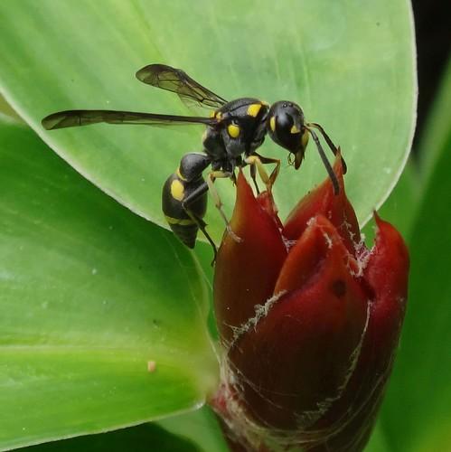 Pottering. Potter Wasp, Eumenes sp., on Cheilocostus speciosus, Crêpe Ginger, Air Terjun Putri Kembar, Kerandangan, Lombok, Indonessia