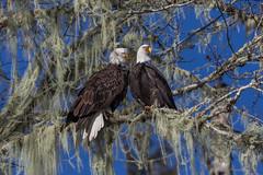 Eagle Pair (elliott845) Tags: blue eagle baldeagle raptor birdsofprey nature wildlife bird animal washington washingtonstate pnw northwest pacificnorthwest skagit skagitriver