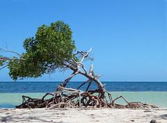 Cayo Jutias Beach (aleta.weber) Tags: ocean tree beach meer cuba himmel mangrove caribbean blau cayo kuba karibik ozean jutias
