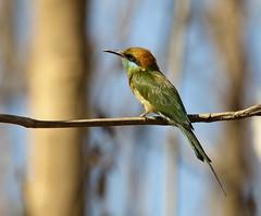 Green bee-eater (tareq uddin ahmed) Tags: green bird birds animal canon is wildlife usm ahmed bangladesh beeeater chittagong uddin tareq 70d kaptai patiya