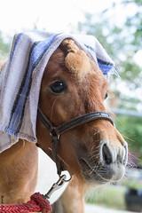 Pharao Pauli :-) (HendrikSchulz) Tags: juni germany deutschland pony shetland stallion pauli 2015 hengst animalphotography tierfotografie minishetty pferdefotografie horsephotography friesenstallweh friesenstall hendrikschulz hendriktschulz friesengestüt friesengestütweh