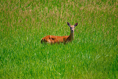 Doe on Green