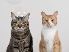 ... (rampx) Tags: cat ginger pentax tabby neko   irori maru miaw 645z littledoglaughedstories