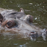 "Swimming hippo<a href=""http://www.flickr.com/photos/28211982@N07/19564569589/"" target=""_blank"">View on Flickr</a>"