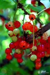 ETE ACIDULE, LES GROSEILLES (Gilles Poyet photographies) Tags: fruits loire soe autofocus rhnealpes groseilles aplusphoto artofimages paysroannais arcinges