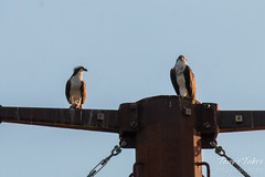 Osprey take in the morning sun