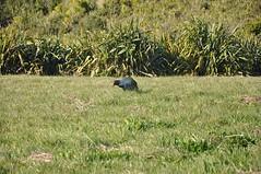Takahe - Tiri Tiri Matangi
