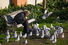 A gathering of fans (feefoxfotos) Tags: seagulls birds picnic lunchtime wellington feedingthebirds feefoxfotos