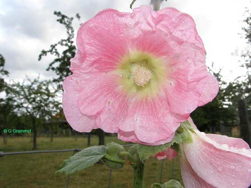 alcea-roze