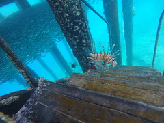 Lionfish swimming around The pier in The Red Sea. Did i mention its deadly!