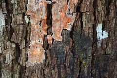 That Bark (Any Lovegood) Tags: wood tree nature bark backgroud