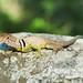 Eastern Collared Lizard, Male