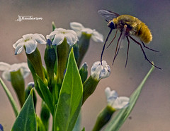 Bee Fly (haidarism (Ahmed Alhaidari)) Tags: bee fly beefly bombyliusmajor nture insect animal outdoor bug bokeh ngc macrophotography macro flwoer sonya65 depthoffield