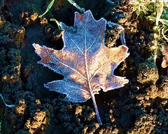 2016-12-27 Beaurepaire (41)frosted leaf (april-mo) Tags: leaves leaf feuille frosted frost gel deadleaves autumnleaves