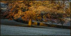 P1140130-1 - Shadow on the Wall (dangle earrings) Tags: frostymorning latenovember oakleaves glow earlymorningsun birstwith dangleearings panasonicdmcgx8 frost