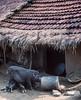 Orissa : Koraput district, pdomestic pigs (foto_morgana) Tags: analogphotography analogefotografie animals asia domesticpig fujiprovia100f india koraput mammalia mammals mammifères nikoncoolscan orissa outdoor photographieanalogue rural säugetiere travelexperience vuescan zoogdieren