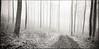 Beech Grove III (Stefan K0n@th) Tags: chamonix045f1 6x12 sinarzoom rolleifilm pan25 kodakxtol11 epsonv750pro beechtrees beeches fog hoarfrost whitefrost blackandwhite monochrome path woods tilt shift nikon nikkor w 180mm f56 20 minutes from home 4x5 rollfilm holder panoramic panorama