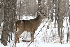 White-tailed Buck  1194 (robenglish64) Tags: whitetailed buck