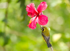 Olive-backed Sunbird (immature male) (petefeats) Tags: australia birds emupark nature nectariniajugularis nectariniidae olivebackedsunbird passeriformes queensland male