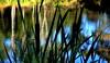 Silhouette BULRUSHES (Lani Elliott) Tags: grass grasses bulrushes reeds rushes duckpond water reflection reflections silhouette silhouettes