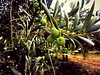 Spanish olive orchard (gdenuzzio12) Tags: tree orchard green spain olives