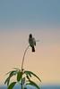 Bulbul @ Sunset (marccrowther) Tags: nikon d7100 nikond7100 tamron 150600mm tamron150600 tamron150600mmf563 tamronsp150600mmf563divcusd bulbul bird sunset tree bulbulbird pycnonotidae
