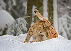 Lince eurasiatica (marypink) Tags: bayerischerwaldnationalpark eurasianlynx lynxlynx felidae felinae carnivora mammalia germania germany forest wald snow winter nikond7200 nikkor80400mmf4556