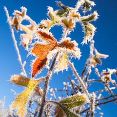 Frost (enneafive) Tags: cold frost blue sky leafs nature icy olympus omd em5