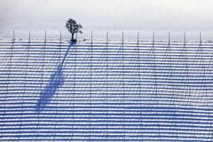Perfectly Aligned (Aerial Photography) Tags: by la 06012017 5sr23004 ackerbau baum einzelbaum feld fotoklausleidorfwwwleidorfde hopfenfeld hopfenstangen landschaft landwirtschaft laubbaum linien luftaufnahme luftbild niederhornbach parallelen pfeffenhausen reihen schatten schnee stimmung winter aerial agriculture deciduoustree field foliagetree landscape leaftree lines mood outdoor parallels rows shadow singletree snow tree