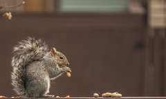 nom nom nom... (Dotsy McCurly) Tags: squirrel eating peanuts nuts cute nature beautiful fence dof nikond750 nj