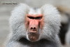 Chef - Chief (Noodles Photo) Tags: mantelpavian pavian hamadryasbaboon baboon papiohamadryas säugetier primat primaten frankfurt frankfurterzoo allesfresser omnivore portrait canoneos7d ef100400mmf4556lisusm animaladdiction