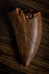 "1.22"" Tyrannosaur Tooth, Likely Daspletosaurus (CookiesForDevo) Tags: partial fossil prehistory macro prehistoric dinosaur tyrannosaur daspletosaurus tooth cretaceous theropod"