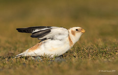 Spread your wings- Snow Bunting Style (Chantal Jacques Photography) Tags: wildandfree spreadyourwings snowbunting bokeh winterplumage