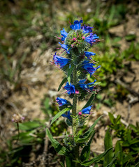Vipers-bugloss (mike_hitchings) Tags: wales spring pembrokeshire vipers bugloss stackpoleestate