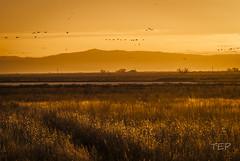 Crane Migration Sunrise (Photopoco) Tags: birds sunrise landscape us nikon colorado unitedstates sanluisvalley wetlands migration sandhillcranes montevista 2013 montevistanationalwildliferefuge timothyearlpococke