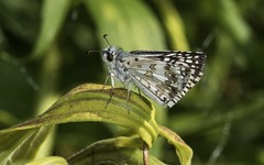 A Checkered Little Skipper (Odonata457) Tags: county unitedstates howard skipper environmental maryland columbia area middle common checkered patuxent pyrguscommunis