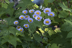 "Showy Fleabane • <a style=""font-size:0.8em;"" href=""http://www.flickr.com/photos/63501323@N07/19027924049/"" target=""_blank"">View on Flickr</a>"