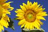 IMG_2783-0 (Saeed Nassbeh) Tags: green nature yellow bright amman jordan sunflower greenery الطبيعة طبيعة الأردن أصفر زهور أزهار عمّان فاقع الهواءالطلق برّاق عبّادالشمس زهورعبّادالشمس