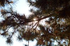 pine sun (Wolfgang Binder) Tags: summer sun tree nature pine zeiss nikon branch branches needle needles planar planart1450 d7000