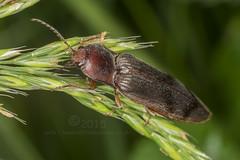 1891 Click Beetle - Stenagostus rhombeus (Pete.L .Hawkins Photography) Tags: beetle click rhombeus stenagostus stenagostusrhombeus