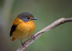Black and Orange Flycatcher (Madhav Jois) Tags: black orange flycatcher ooty