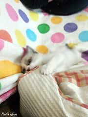 Frenzy (Marta Hyun) Tags: cat gat gato gats cute precioso adorable lovely purrfect purrr animals cats animales frenzy frenesí bonito morder cojín pillow colour