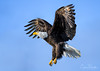 Bald Eagle (Chris Parmeter Photography (smokinman88)) Tags: bald eagle bird raptor flying animal feathers talons wings sky washington skagit valley nikon d500 sigma 150600 contemporary