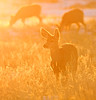 Backlit Mule Deer (Circled Thrice) Tags: deer muledeer animal mammal backlit sun light wild wildlife nature natural rockymountainnationalwildliferefuge wildliferefuge refuge rockymountainarsenal aurora denver commercecity colorado co canon eos rebel t5i sigma