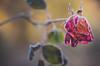 forsty morning (Stadt_Kind) Tags: flower rose frost frozen bokeh bokehaddicts bokehmasters matte dof depthoffield stadtkind kempten bavaria germany