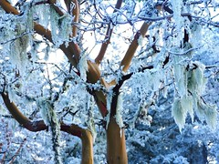 Arbutus (fawnlilylanah) Tags: vancouverisland madrona madrone frost ice snow winter strawberrytree tree