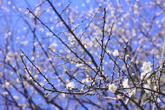 飄雪梅 (parrot0901) Tags: snow wintersweet makrotubusaschachtulm12850r bright 梅花 bokeh
