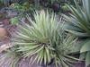 Agave filifera (Gewinde-Blatt Agave; thread-leaf Agave) (tanetahi) Tags: agave agavefilifera agavoideae asparagaceae gewindeblattagave threadleafagave
