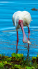 african spoonbill catching fish at selous GR, tanzania 3 (Russell Scott Images) Tags: selousgamereserve tanzania bird africa africanspoonbillplataleaalba catchingfish african